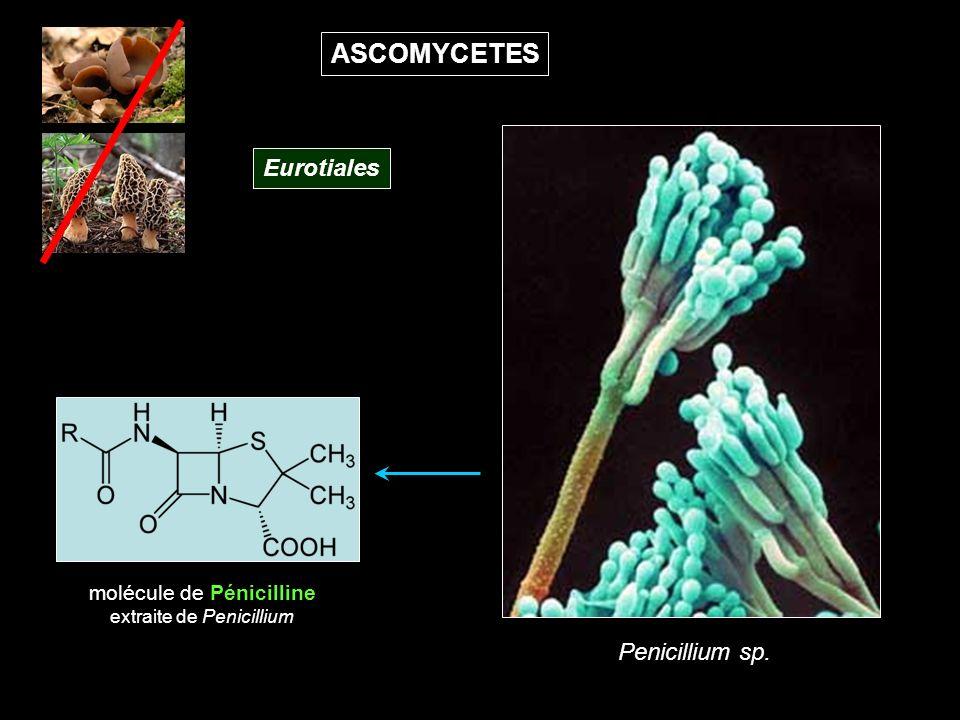 ASCOMYCETES Eurotiales Penicillium sp. molécule de Pénicilline