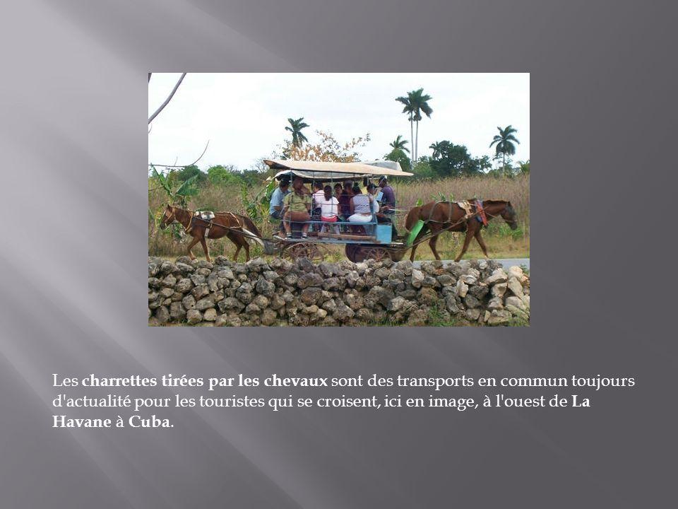 Les charrettes tirées par les chevaux sont des transports en commun toujours d actualité pour les touristes qui se croisent, ici en image, à l ouest de La Havane à Cuba.
