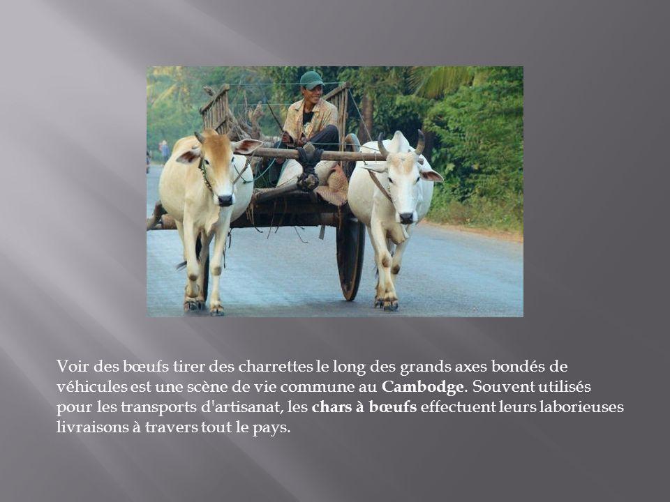Voir des bœufs tirer des charrettes le long des grands axes bondés de véhicules est une scène de vie commune au Cambodge.