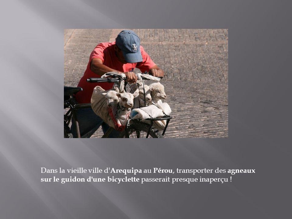 Dans la vieille ville d Arequipa au Pérou, transporter des agneaux sur le guidon d une bicyclette passerait presque inaperçu !