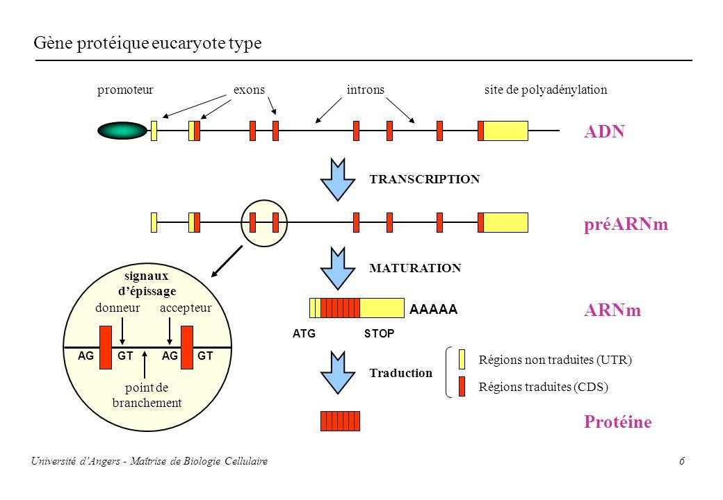 Gène protéique eucaryote type