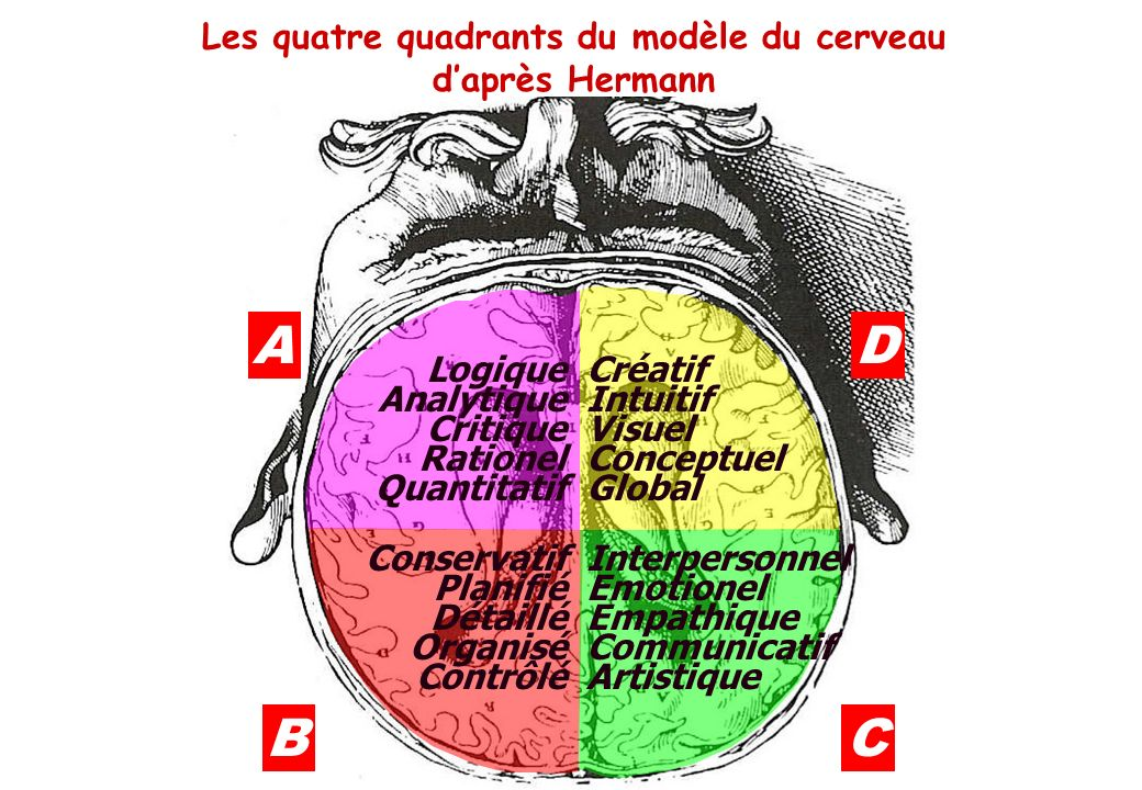 Les quatre quadrants du modèle du cerveau d'après Hermann