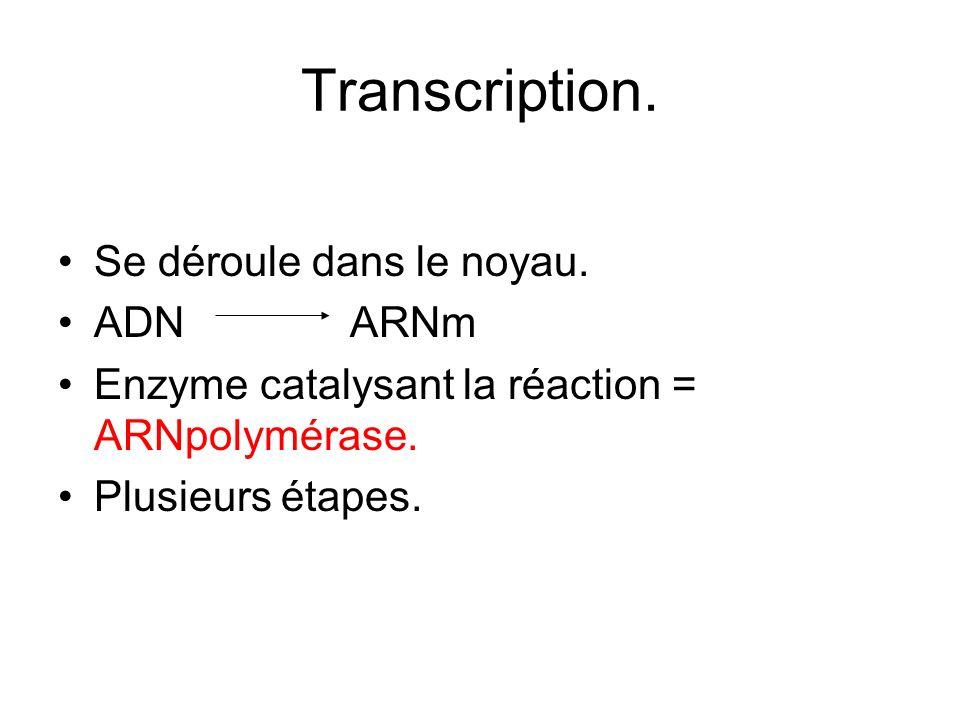 Transcription. Se déroule dans le noyau. ADN ARNm
