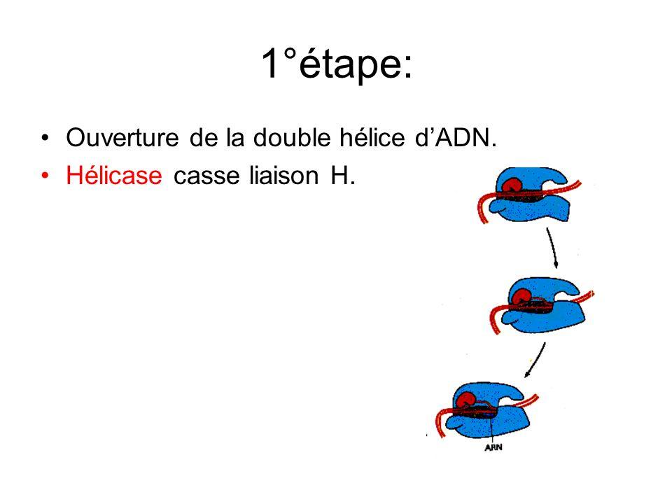 1°étape: Ouverture de la double hélice d'ADN.