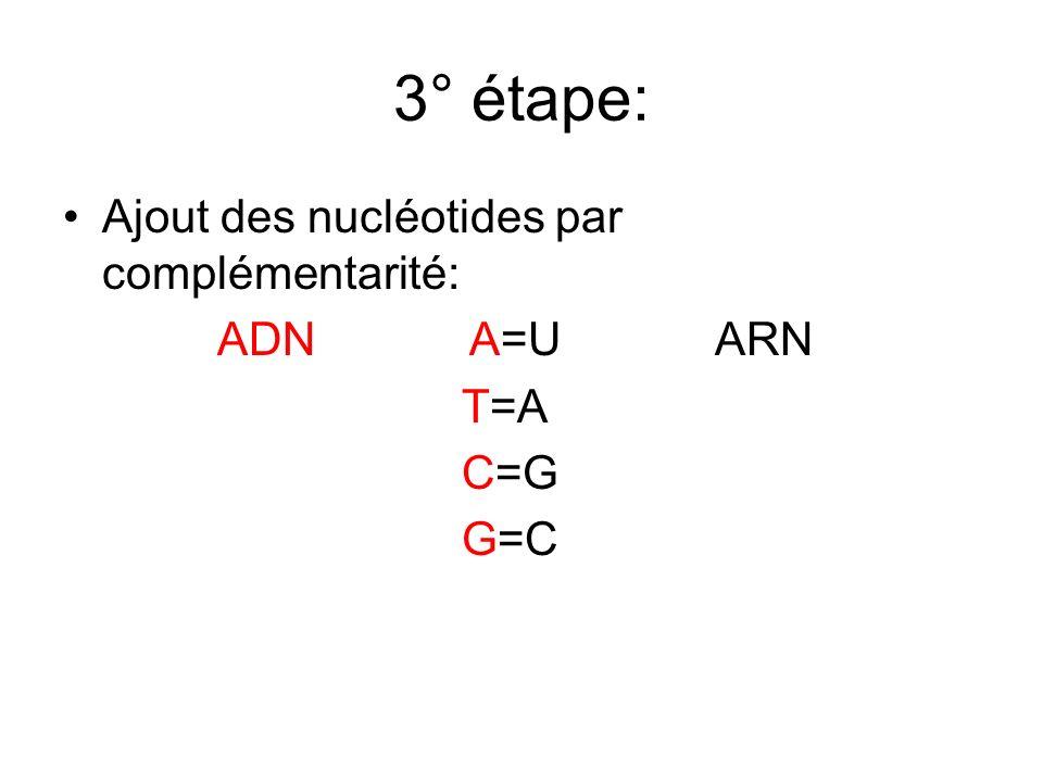 3° étape: Ajout des nucléotides par complémentarité: ADN A=U ARN T=A