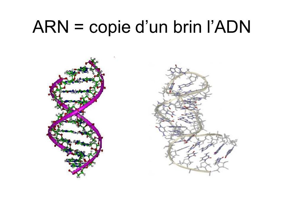 ARN = copie d'un brin l'ADN