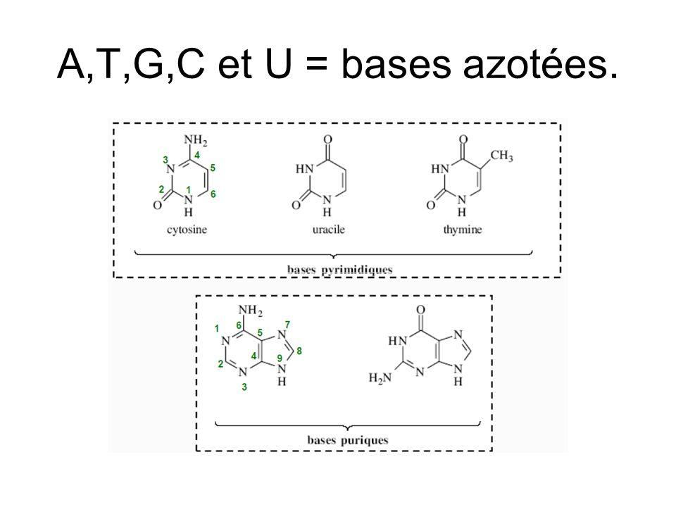 A,T,G,C et U = bases azotées.