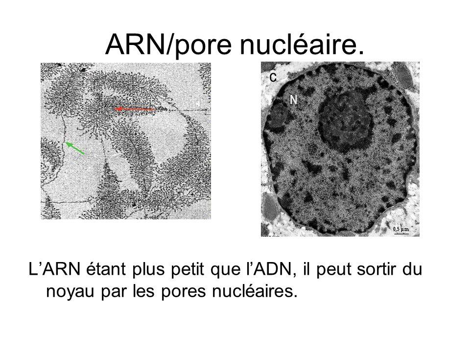 ARN/pore nucléaire.