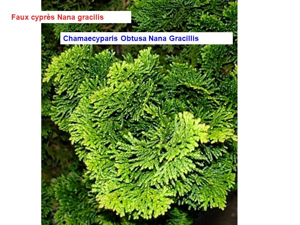 Faux cyprès Nana gracilis
