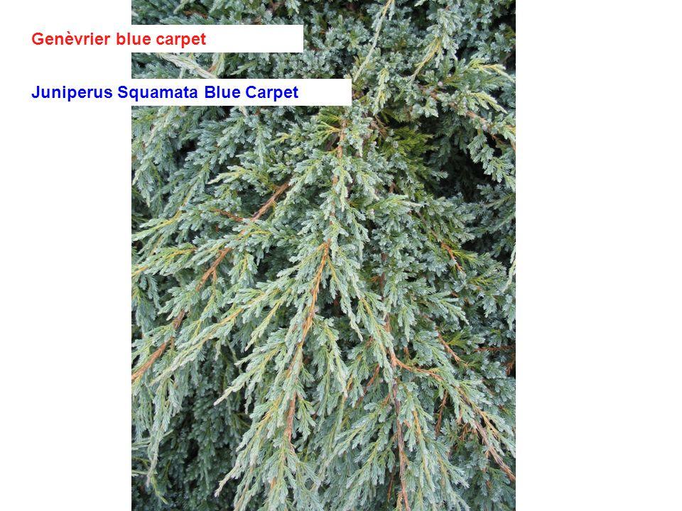Genèvrier blue carpet Juniperus Squamata Blue Carpet