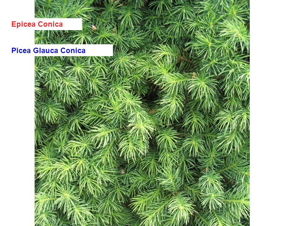 Epicea Conica Picea Glauca Conica