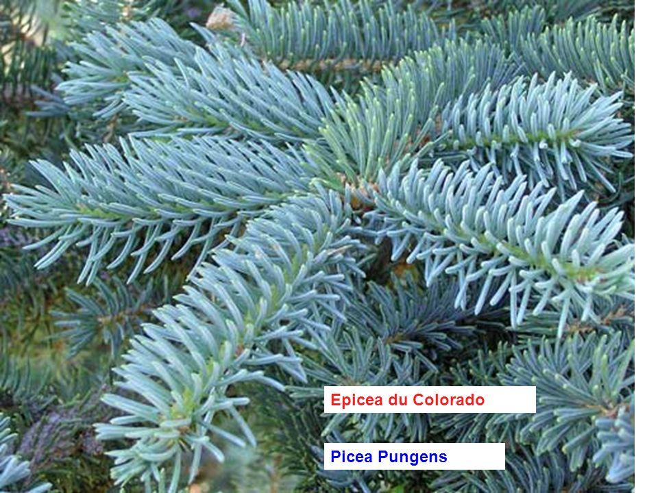 Epicea du Colorado Picea Pungens