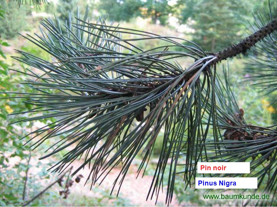 Pin noir Pinus Nigra