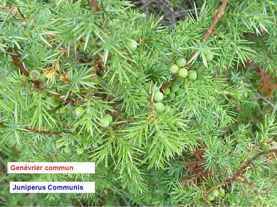 Genévrier commun Juniperus Communis