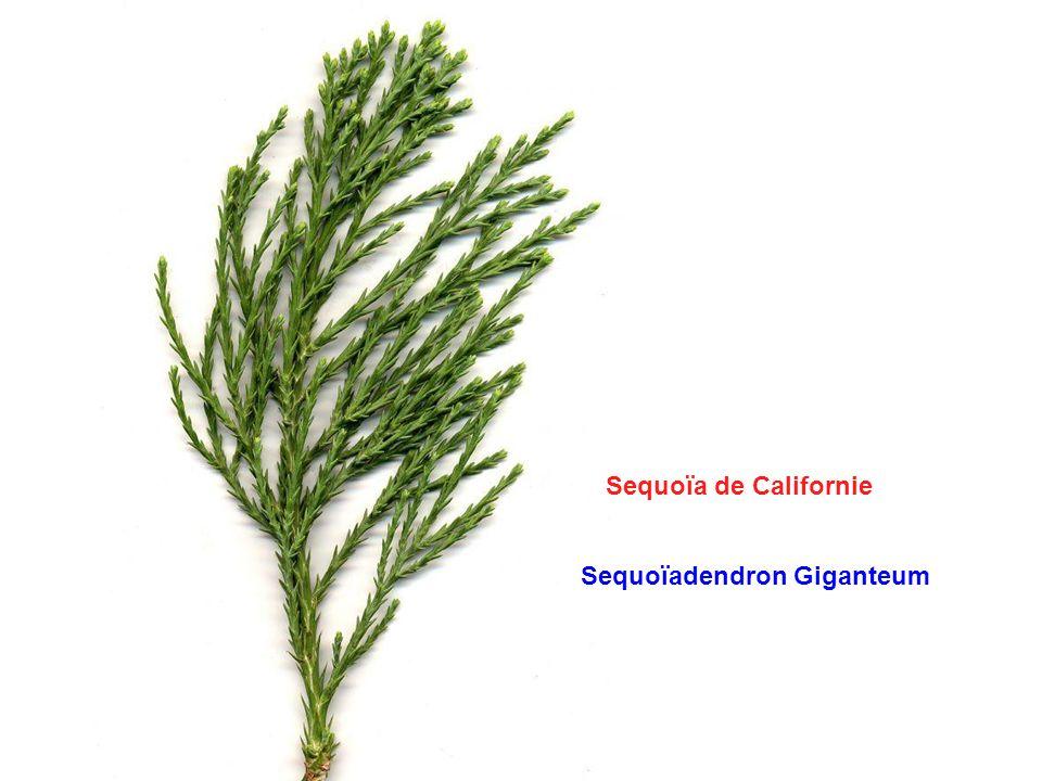 Sequoïa de Californie Sequoïadendron Giganteum