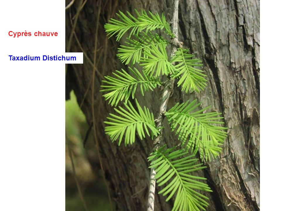 Cyprès chauve Taxadium Distichum