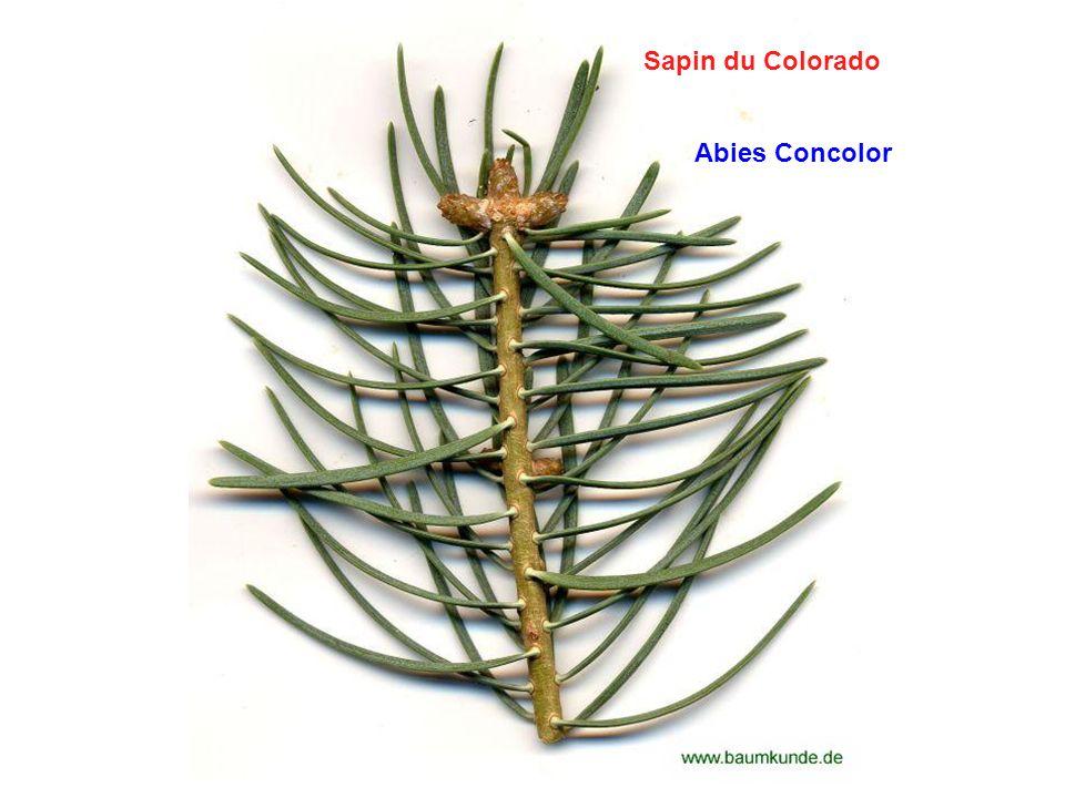 Sapin du Colorado Abies Concolor