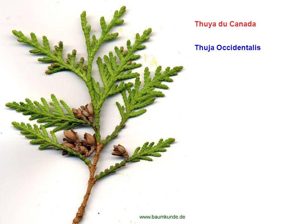 Thuya du Canada Thuja Occidentalis