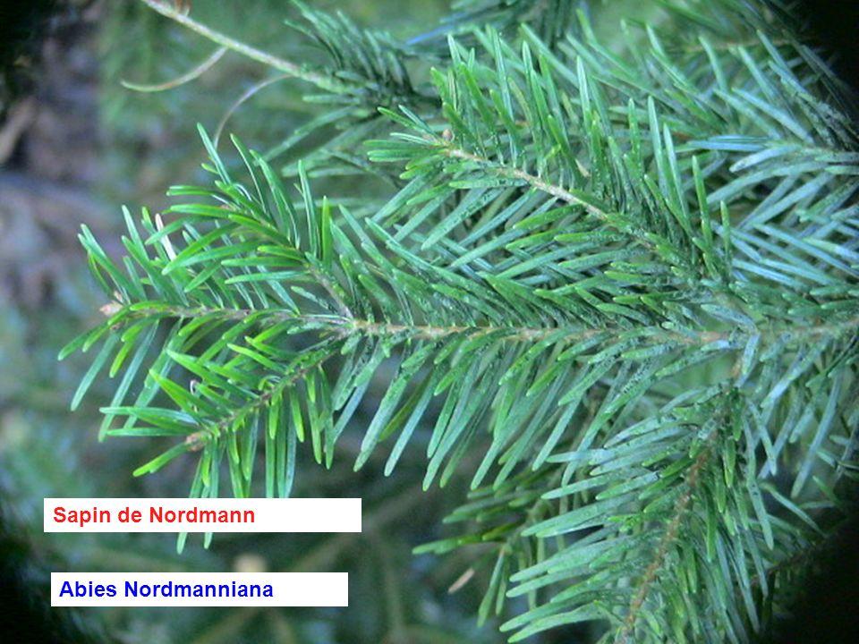 Sapin de Nordmann Abies Nordmanniana