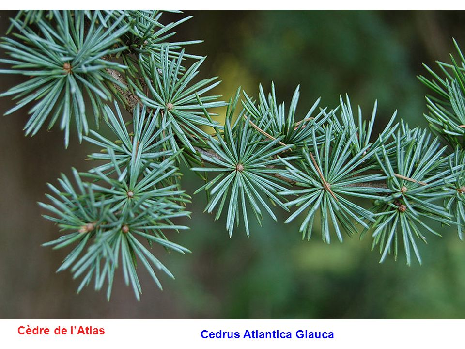 Cèdre de l'Atlas Cedrus Atlantica Glauca