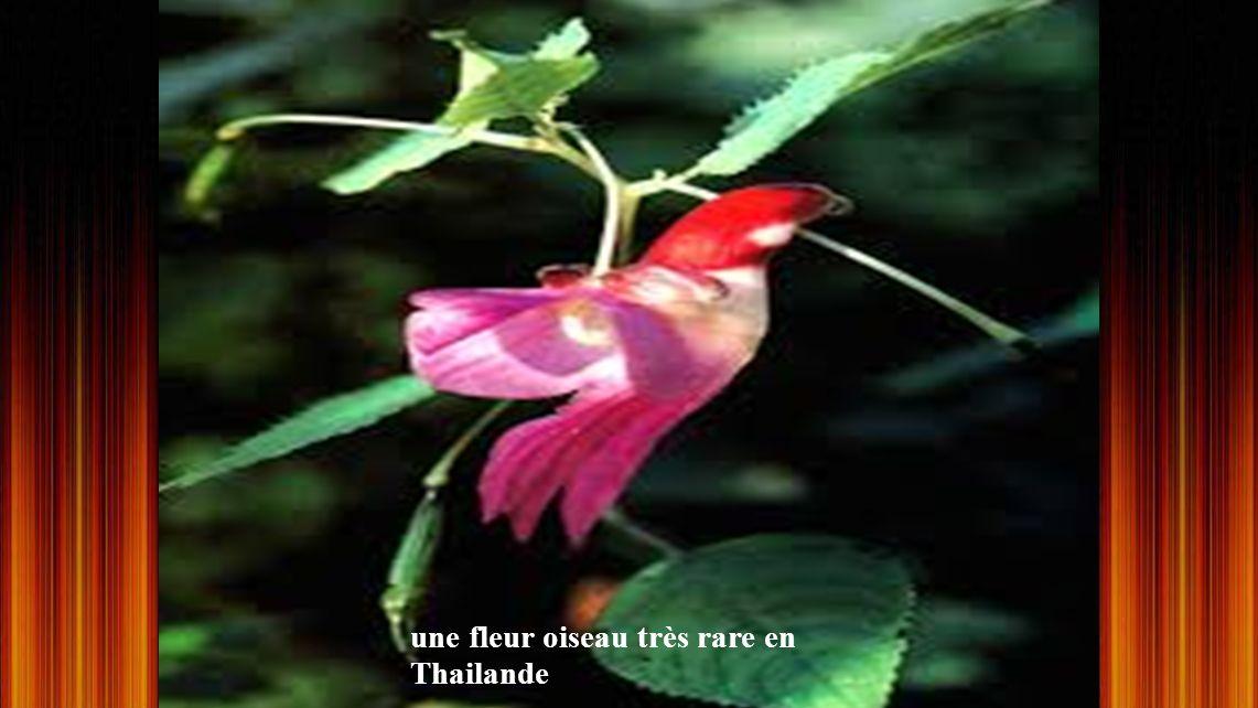 une fleur oiseau très rare en Thailande