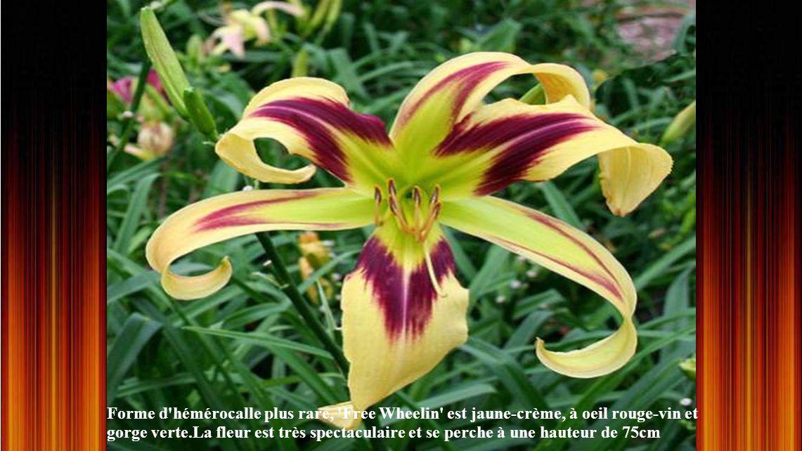 Forme d hémérocalle plus rare, Free Wheelin est jaune-crème, à oeil rouge-vin et gorge verte.La fleur est très spectaculaire et se perche à une hauteur de 75cm