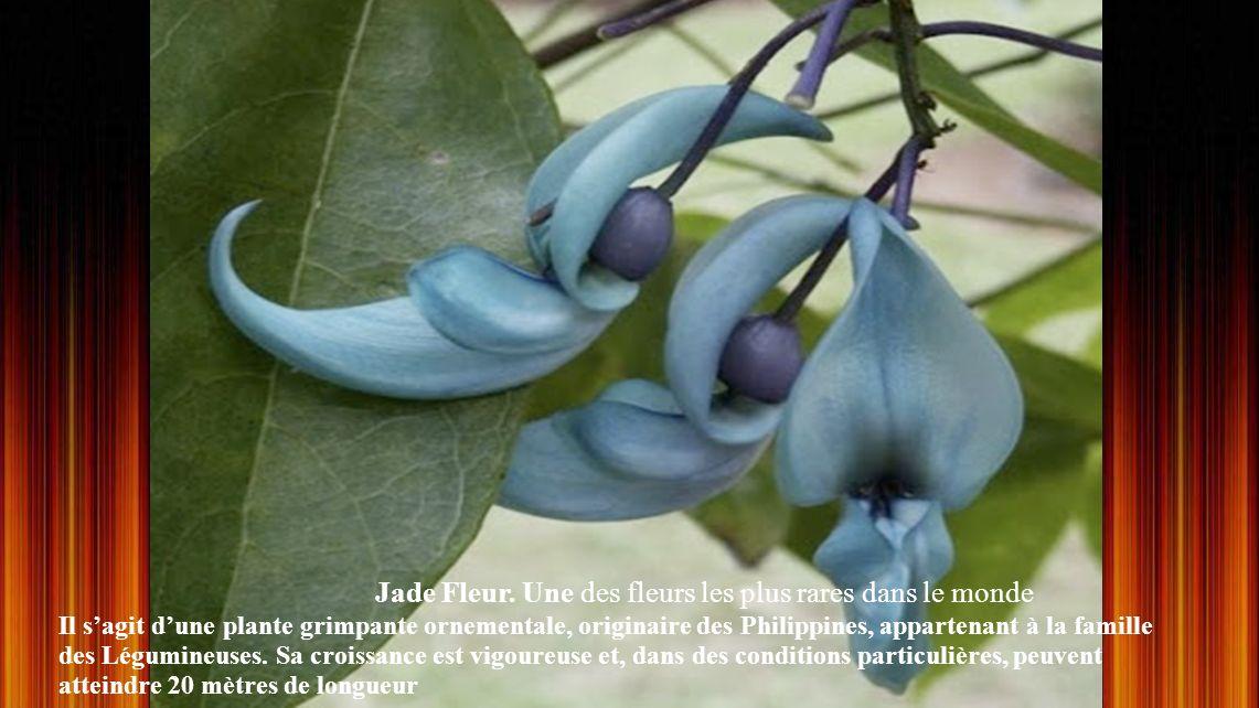 Jade Fleur. Une des fleurs les plus rares dans le monde