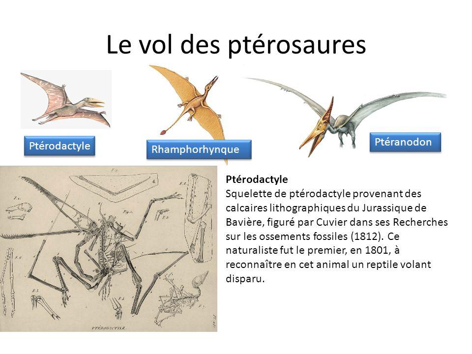 Le vol des ptérosaures Ptéranodon Ptérodactyle Rhamphorhynque