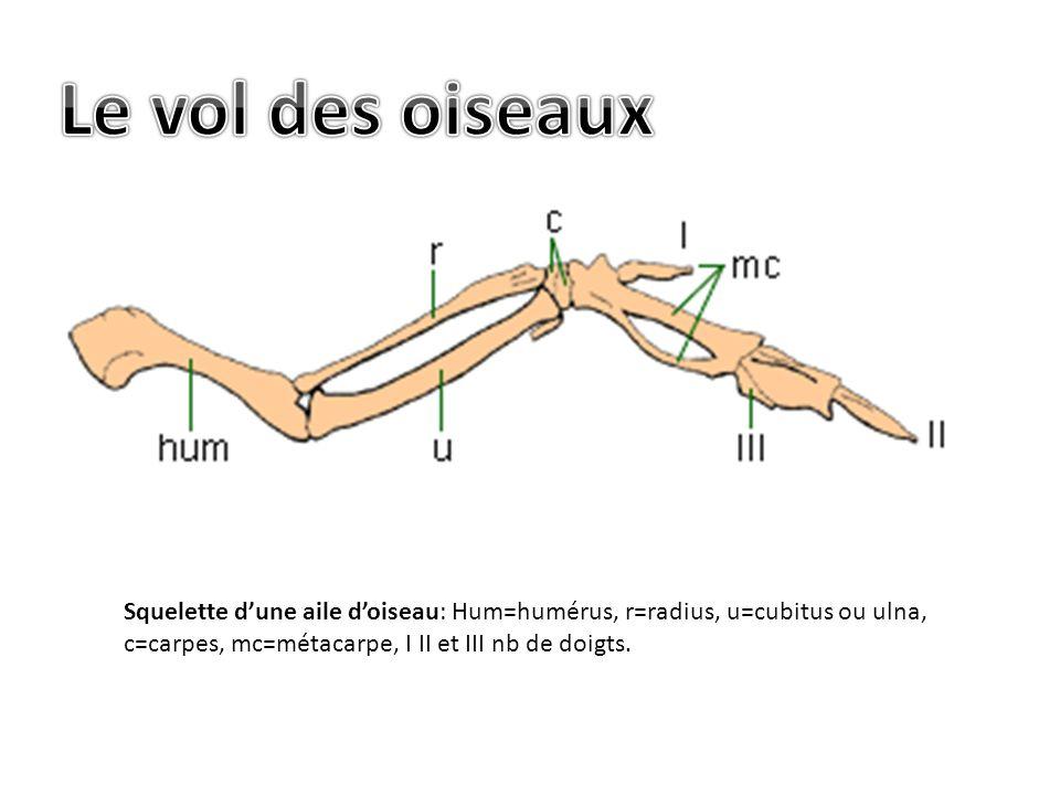 Le vol des oiseaux Squelette d'une aile d'oiseau: Hum=humérus, r=radius, u=cubitus ou ulna, c=carpes, mc=métacarpe, I II et III nb de doigts.