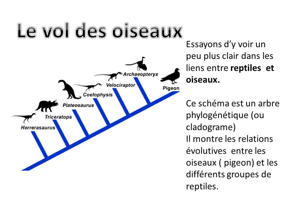 Le vol des oiseaux Essayons d'y voir un peu plus clair dans les liens entre reptiles et oiseaux.