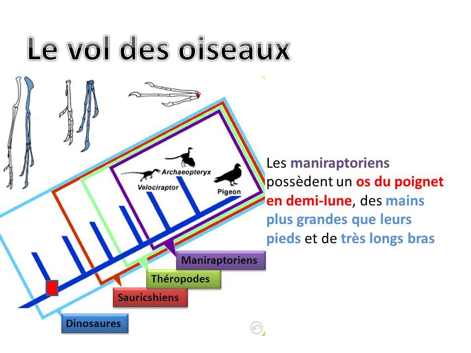 Le vol des oiseaux Les maniraptoriens possèdent un os du poignet en demi-lune, des mains plus grandes que leurs pieds et de très longs bras.