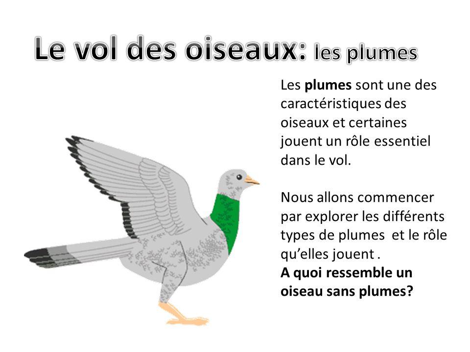 Le vol chez les vert br s ppt video online t l charger - Signification des plumes d oiseaux ...