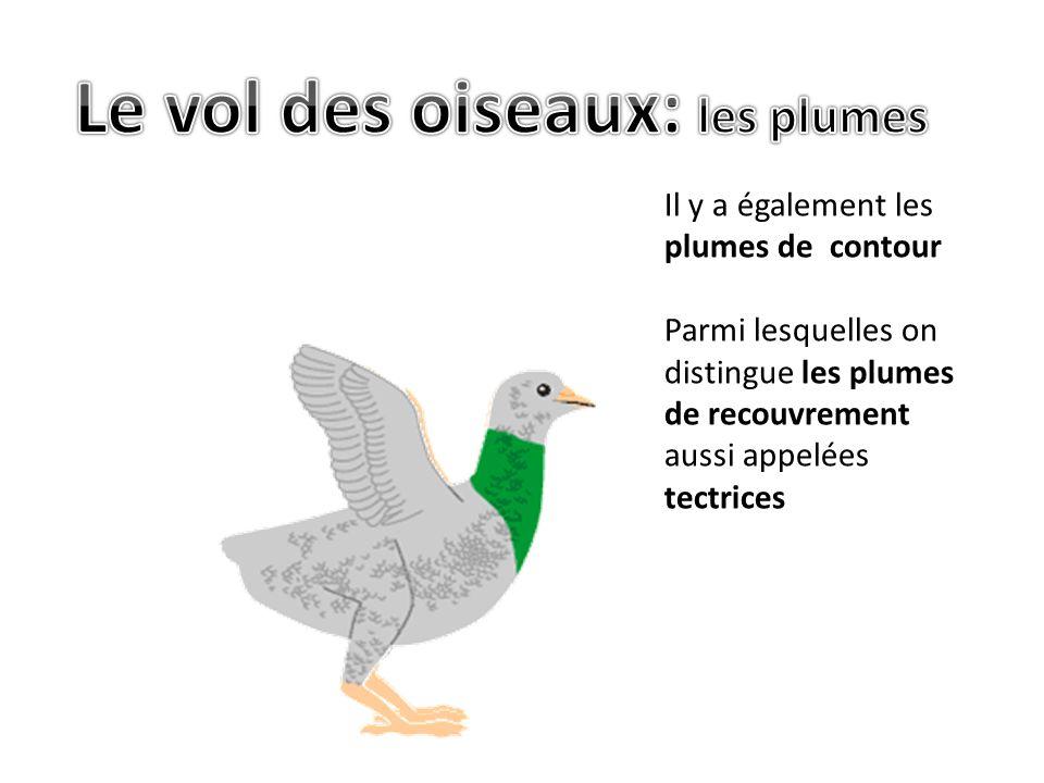Le vol des oiseaux: les plumes
