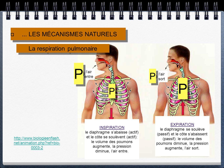 La respiration pulmonaire