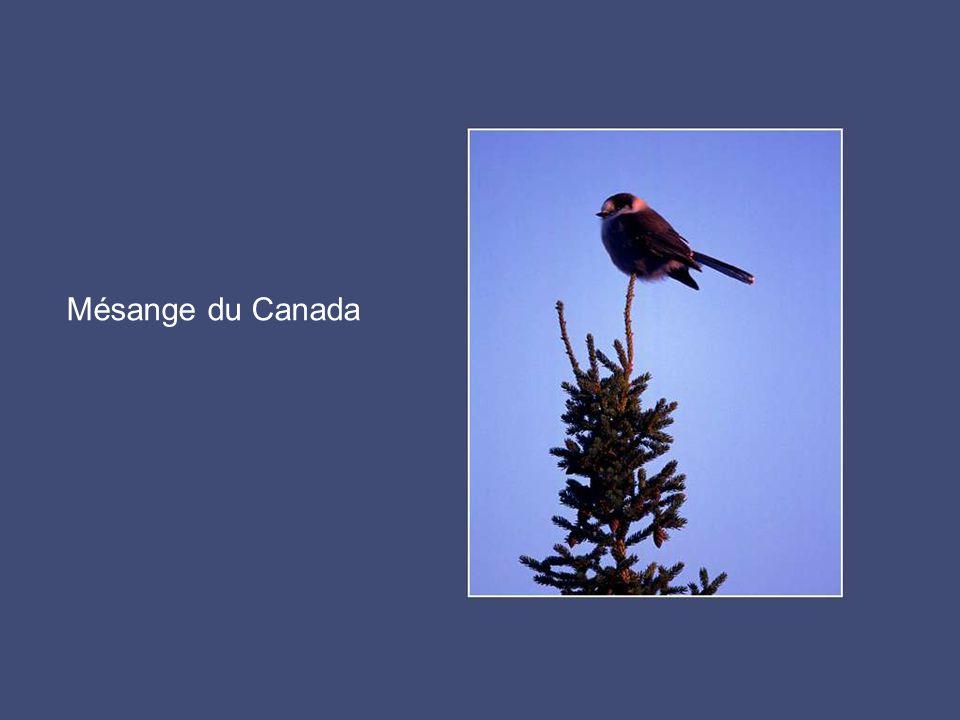 Mésange du Canada