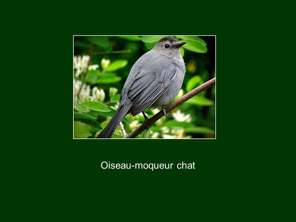 Oiseau-moqueur chat