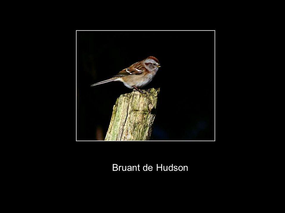 Bruant de Hudson