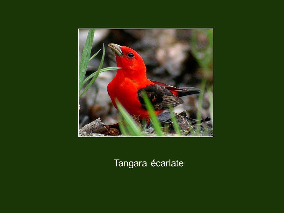 Tangara écarlate