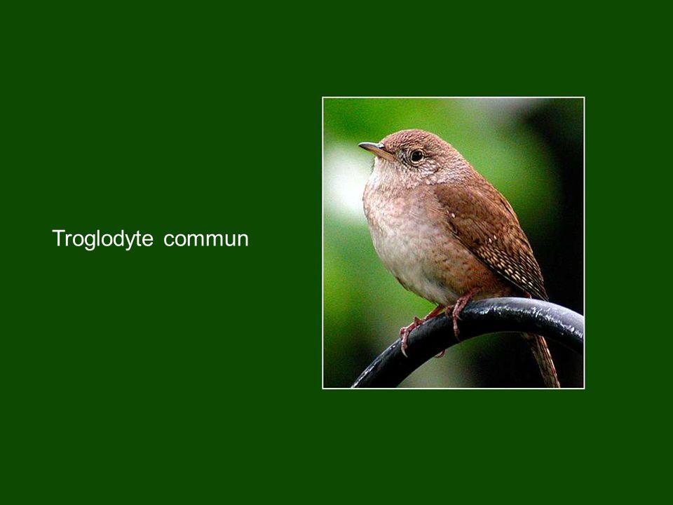 Troglodyte commun
