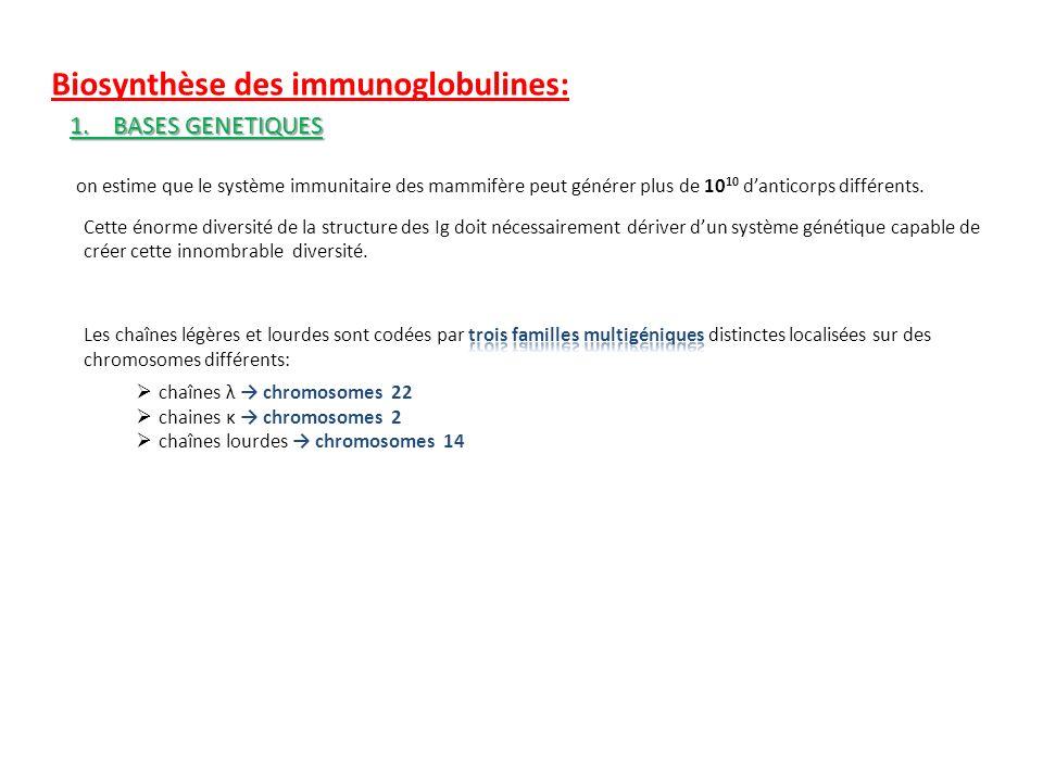Biosynthèse des immunoglobulines: