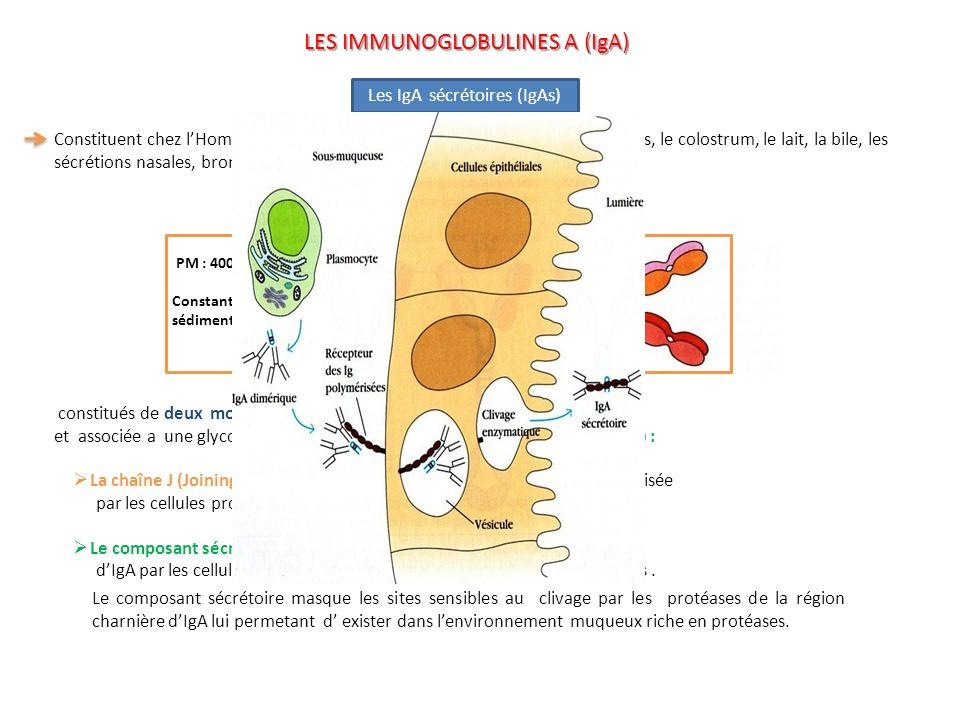 LES IMMUNOGLOBULINES A (IgA)