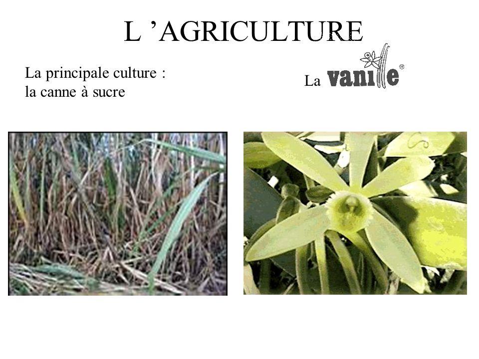 L 'AGRICULTURE La principale culture : la canne à sucre La