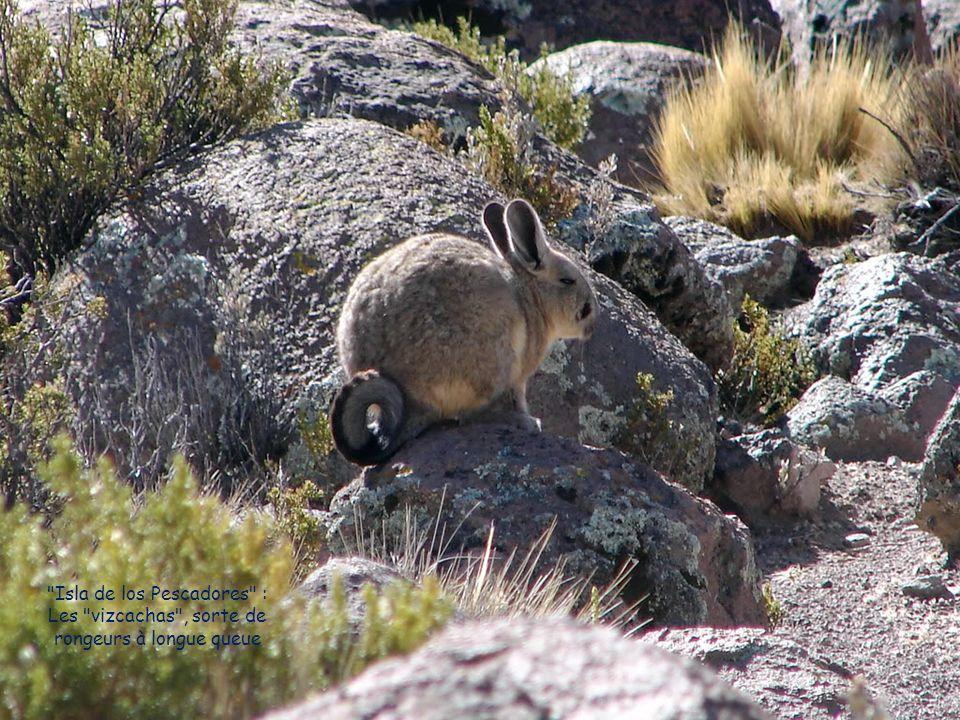 Isla de los Pescadores : Les vizcachas , sorte de rongeurs à longue queue