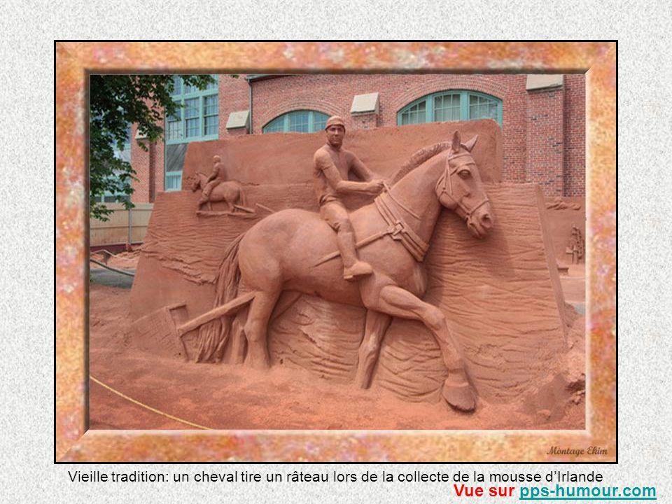 Vieille tradition: un cheval tire un râteau lors de la collecte de la mousse d'Irlande