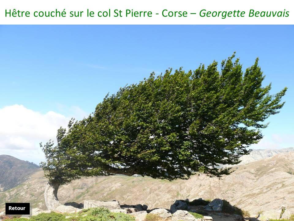 Hêtre couché sur le col St Pierre - Corse – Georgette Beauvais