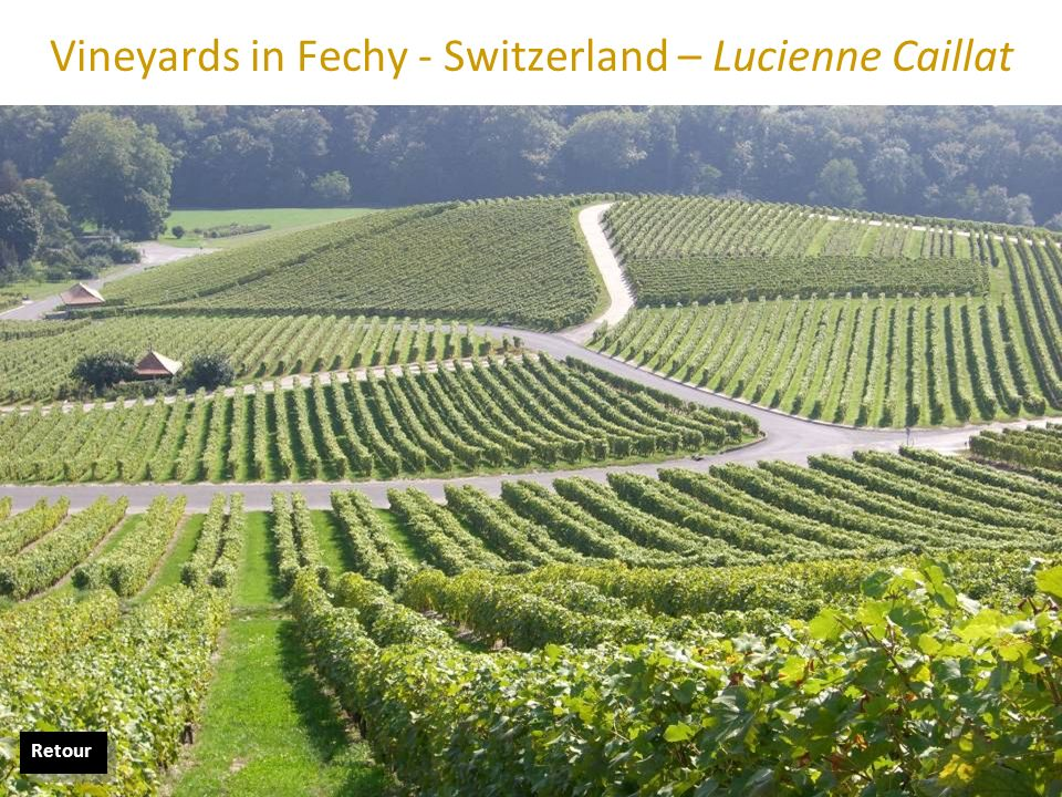 Vineyards in Fechy - Switzerland – Lucienne Caillat