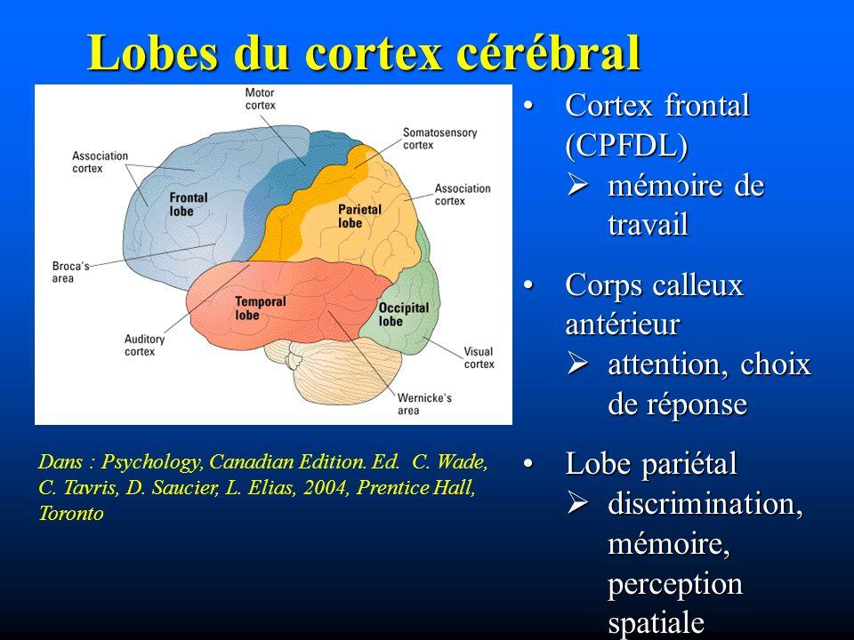 Lobes du cortex cérébral