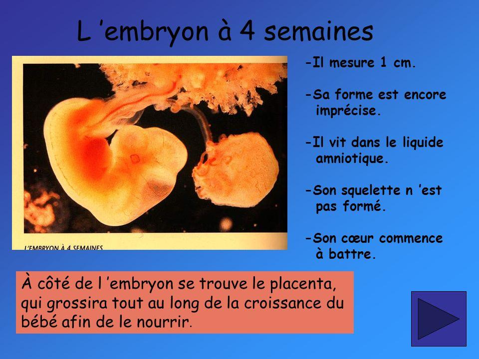L 'embryon à 4 semaines À côté de l 'embryon se trouve le placenta,