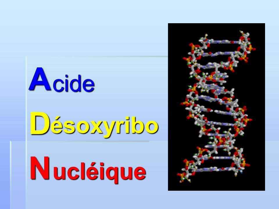 A D N cide ésoxyribo ucléique