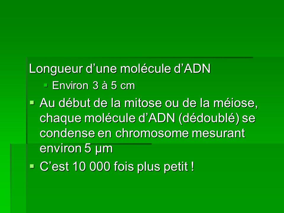 Longueur d'une molécule d'ADN